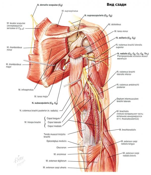 Домашняя тренировка мышц плеча
